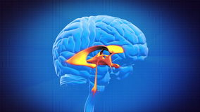 Brain part - VENTRICLE Stock Image