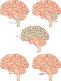 Brain parts. The five basic parts of the brain Stock Photography