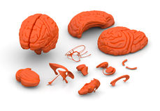 Brain parts - Human brain decomposed Royalty Free Stock Images