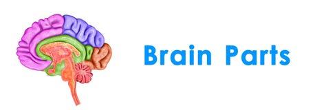 Left Right Brain Dominant Venn DIagram Whole Brained ...
