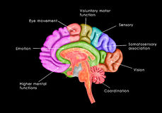 Brain parts. The human brain has many properties that are common to all vertebrate brains, including a basic division into three parts called the forebrain stock illustration