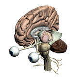 Brain parts - isometric front view. With eyes Stock Images