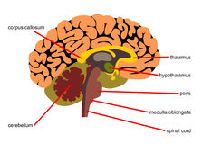 Brain parts in side view. A detailed illustration of the human brain with parts stock illustration