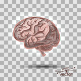 Brain of the person. With a considerable quantity of convolutions Royalty Free Stock Photography