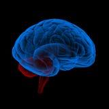 Brain X-Ray. 3d rendering of a brain stock illustration
