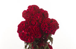 Brain red celosia with background bench, isolated. On white background royalty free stock images