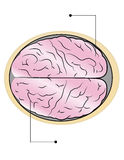 Brain. The sections of human brain Royalty Free Stock Photo