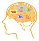 Brain 5 senses Royalty Free Stock Photo