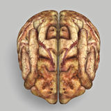 Brain. Stock Image
