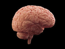 Brain side view Royalty Free Stock Image