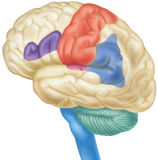 Brain - Side View. Side view of the human brain. Shown are the parietal lobes, sensory cortex, angular gyrus, Broca`s area, frontal lobes and the motor cortex royalty free illustration