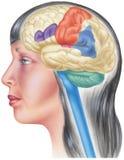 Brain in Situ - Skull Cutaway Side View Royalty Free Stock Photos