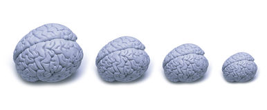 Brain Size. Four human brains going from large to small Stock Images