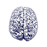 Brain sketch. VECTOR colored hand drawn human brain. Front view. Line work, blue. Royalty Free Stock Image