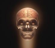 Brain Skull Royalty Free Stock Photos