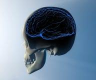 Brain skull x-ray head anatomy Royalty Free Stock Photography