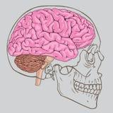 Brain Skull Vector Lizenzfreie Stockfotos