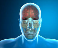 Brain skull x-ray head anatomy Royalty Free Stock Images