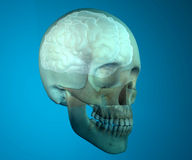 Brain skull x-ray head anatomy Stock Photos
