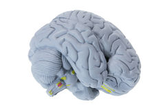 Brain Specimen Royalty Free Stock Photo