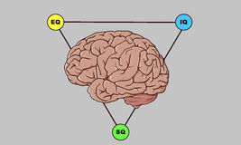 Brain. With SQ, IQ, EQ intelligence with gray background royalty free illustration