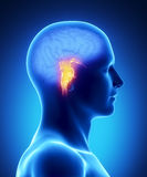 BRAIN STEM - human brain part Stock Photo