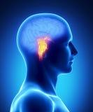 BRAIN STEM - human brain part vector illustration