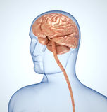 The brain in the transparent head Stock Image