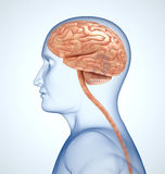 The brain in the transparent head Stock Photography
