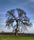 Brain Tree - quercia del pascolo Immagini Stock