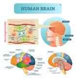 Brain vector illustration. Medical educational scheme with neurological cells. Silhouette with cerebrum, stem, cortex and lobe. Brain vector illustration stock illustration