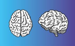 Brain vector illustration in top and front view. stock illustration