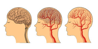 The brain , the vessels of the brain. Illustration of brain and blood vessels of the head. vector Stock Images