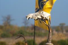 Brainpan животного от каменного века Стоковая Фотография
