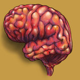 Brains - side view. Hand drawn pencil sketch of a human brain, colored and placed on brown background Stock Image