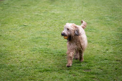 Briard dog in lawn Stock Photo