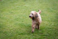 Briard dog in lawn. Adult briard dog running in sunny backyard Stock Photo