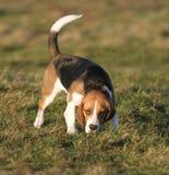 Brak - hond Royalty-vrije Stock Foto