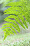 Brake Fern leaf. In the forest Royalty Free Stock Image