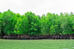 The brake of mangrove Stock Photo