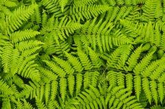 Brakenvarens die in Understory van een Rode Pijnboom Forest In The Adirondack Mountains van de Staat van New York groeien Stock Afbeeldingen