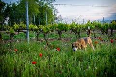 Brakhond in de lente wilde bloemen Papavers onder wijngaard bij zonsondergang royalty-vrije stock fotografie