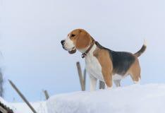 Brakhond die in de sneeuw lopen stock afbeeldingen