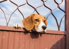 Brakhond die door eruit zien royalty-vrije stock fotografie