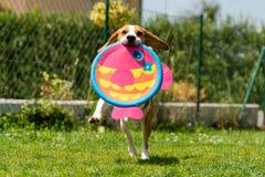 Brakhond die met een rond stuk speelgoed lopen royalty-vrije stock afbeelding