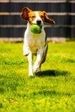 Brakhond die met een stuk speelgoed in tuin, naar de camera lopen royalty-vrije stock foto's