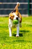 Brakhond die met een stuk speelgoed in tuin, naar de camera lopen stock afbeeldingen