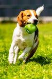 Brakhond die met een stuk speelgoed in tuin, naar de camera lopen stock foto's