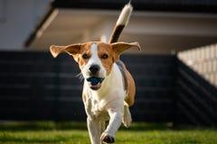 Brakhond met een bal op een groene weide tijdens de lente, de zomerlooppas naar camera met bal royalty-vrije stock fotografie