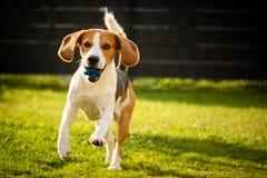 Brakhond met een bal op een groene weide tijdens de lente, de zomerlooppas naar camera met bal stock foto's